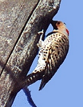 Great Northern Flicker